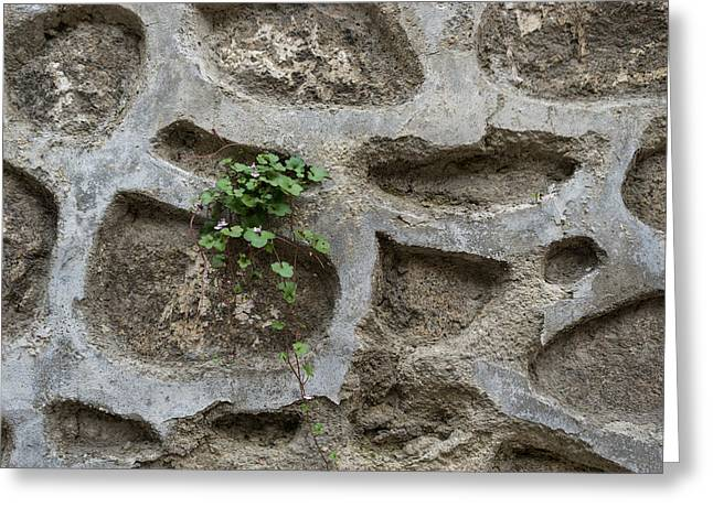 Life On Bare Rock - Trailing Down The Old Masonry Wall Greeting Card by Georgia Mizuleva