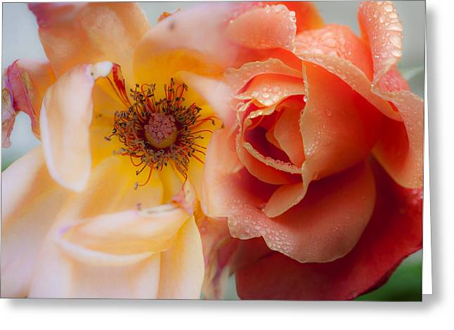 Wet Rose Greeting Cards - Lifespan Greeting Card by Stephen Anderson