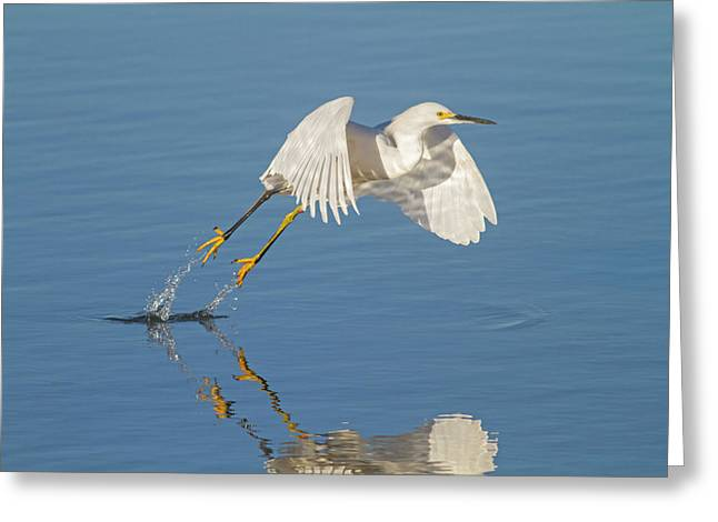 Lift Off- Snowy Egret Greeting Card