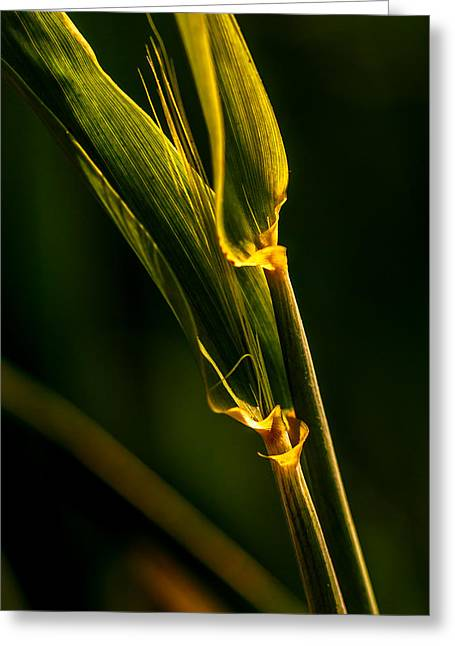 Light And Cereal Branch Greeting Card by Mah FineArt