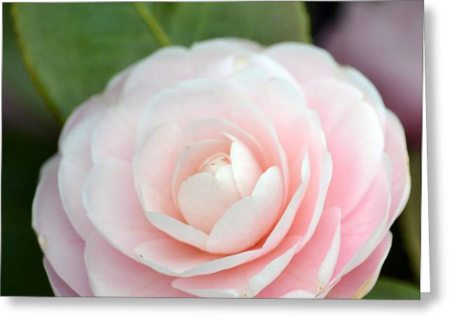 Light Pink Camellia Flower Greeting Card by P S