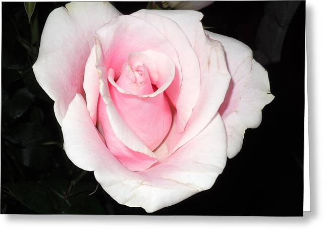 Light Pink Rose Greeting Card