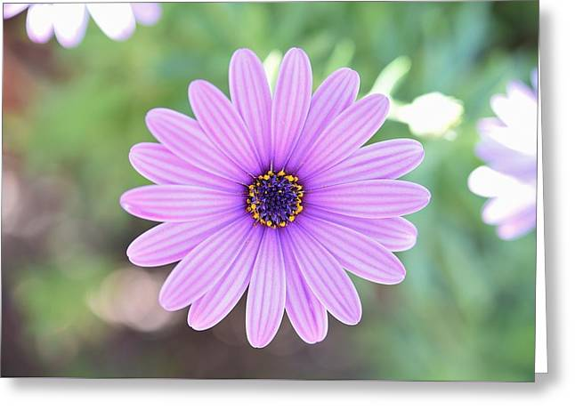 Light Purple Gazania Macro 1  Greeting Card by Linda Brody
