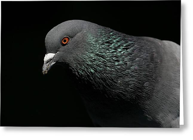Light Rail Pigeon  Greeting Card by Andrew Johnson
