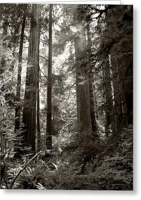 Light Through Redwoods Greeting Card by Kathleen Grace
