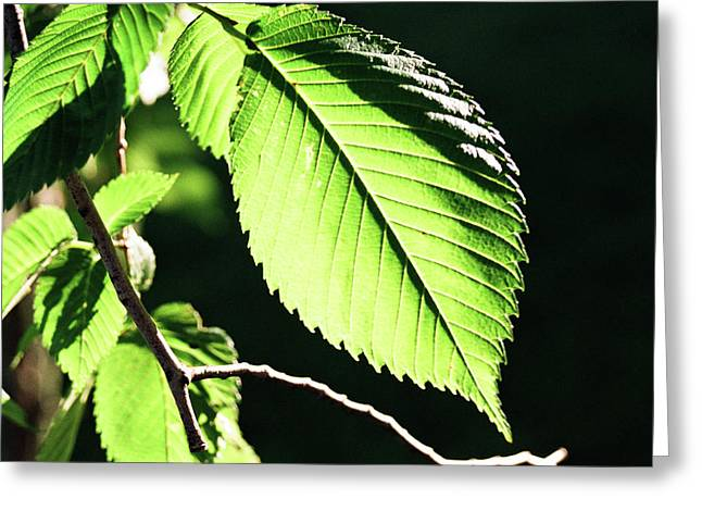 Light Up Leaf Greeting Card by Jonathan Michael Bowman