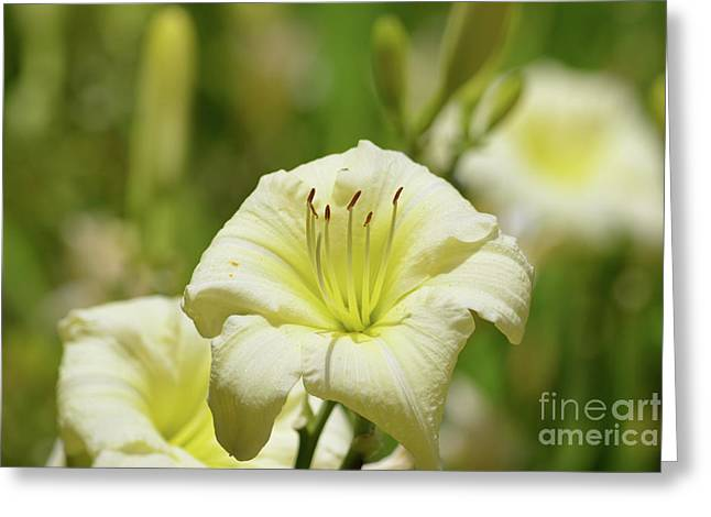 Light Yellow Daylilies Greeting Card by Ruth Housley