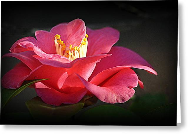 Greeting Card featuring the photograph Lighted Camellia by AJ Schibig