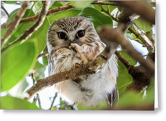 Lightweight Champ Saw-whet Owl Greeting Card by Morris Finkelstein