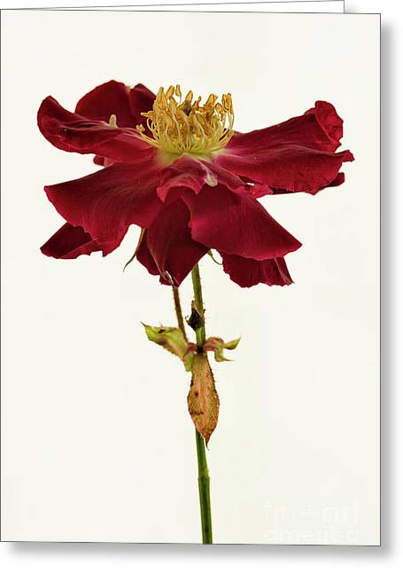 Like A Dancer Greeting Card by Masako Metz