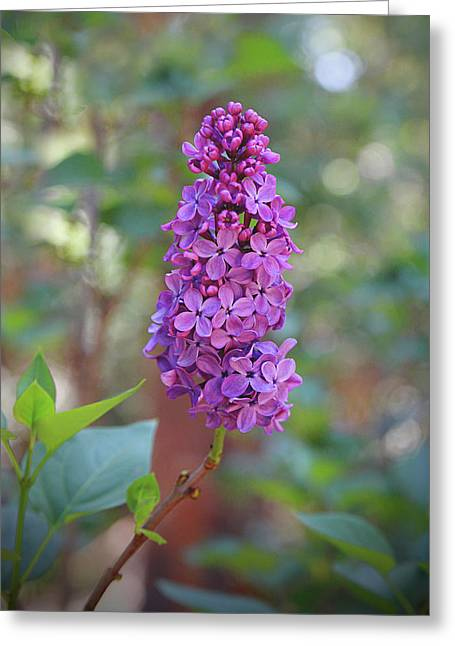 Lilac Bloom- Photography By Linda Woods Greeting Card