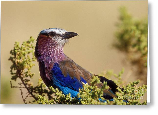 Lilac Breasted Roller Greeting Card by Sandra Bronstein