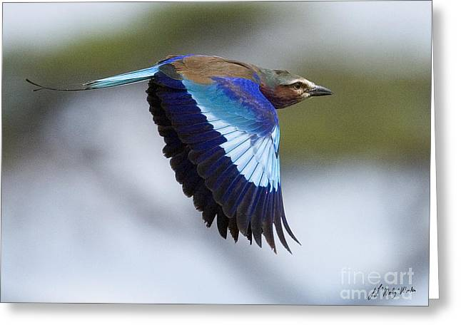 Lilac-breasted Roller-signed Greeting Card