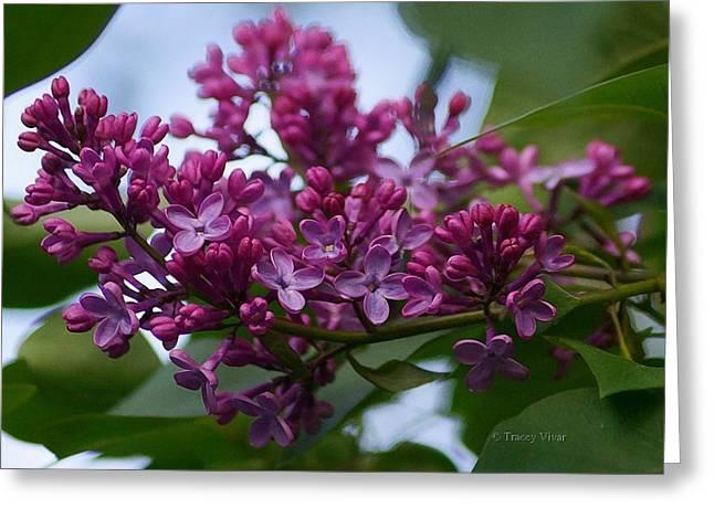 Lilac Buds Greeting Card