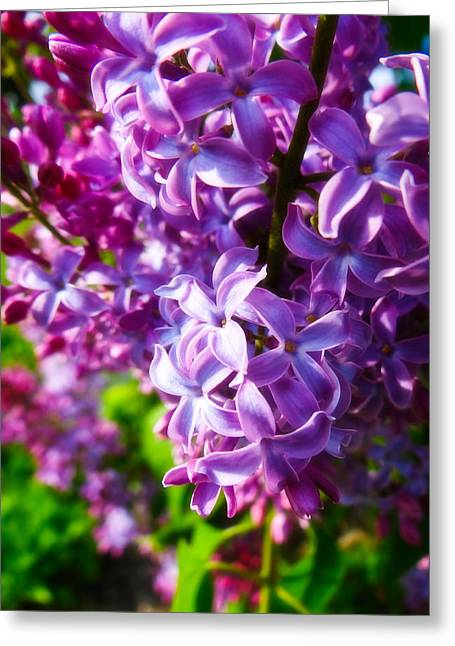Lilac In The Sun Greeting Card