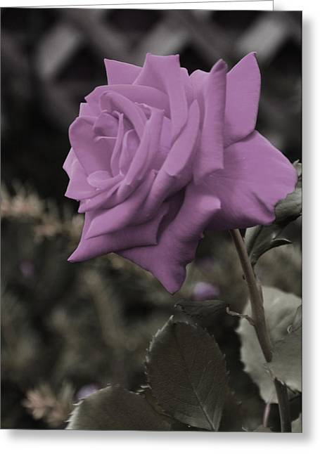 Lilac Rose Greeting Card by Vijay Sharon Govender