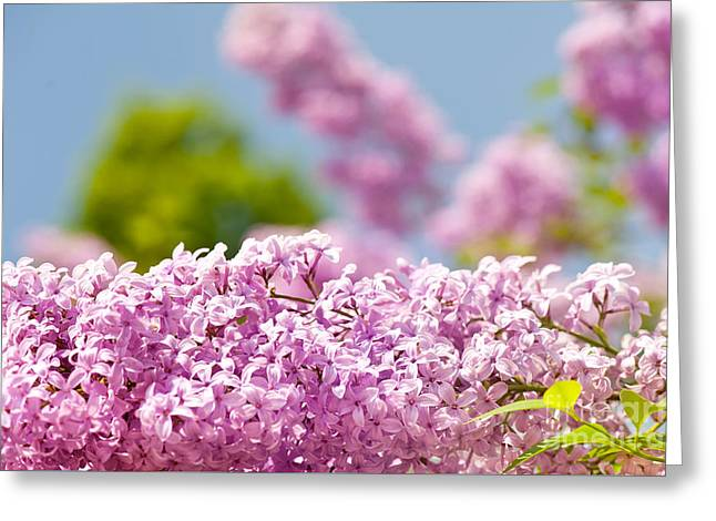 Lilac Vibrant Pink Flowers Shrub Greeting Card by Arletta Cwalina