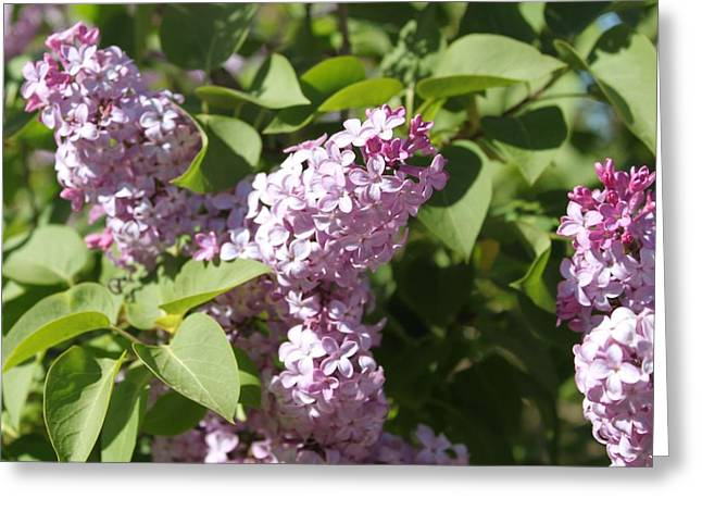 Greeting Card featuring the photograph Lilacs 5544 by Antonio Romero