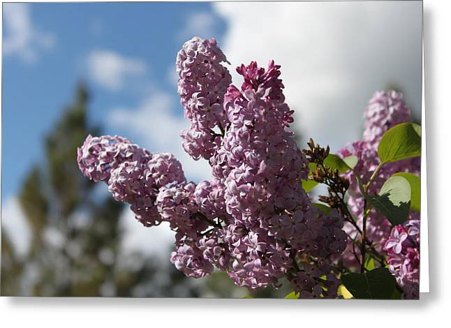 Lilacs 5547 Greeting Card
