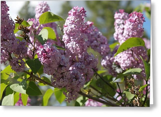 Greeting Card featuring the photograph Lilacs 5548 by Antonio Romero
