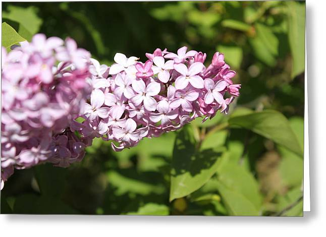 Greeting Card featuring the photograph Lilacs 5550 by Antonio Romero