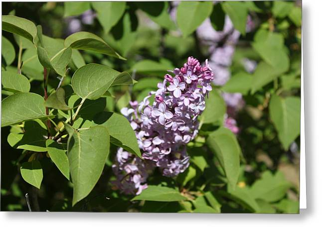 Greeting Card featuring the photograph Lilacs 5551 by Antonio Romero