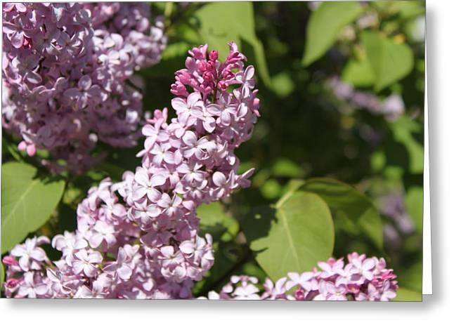 Lilacs 5552 Greeting Card