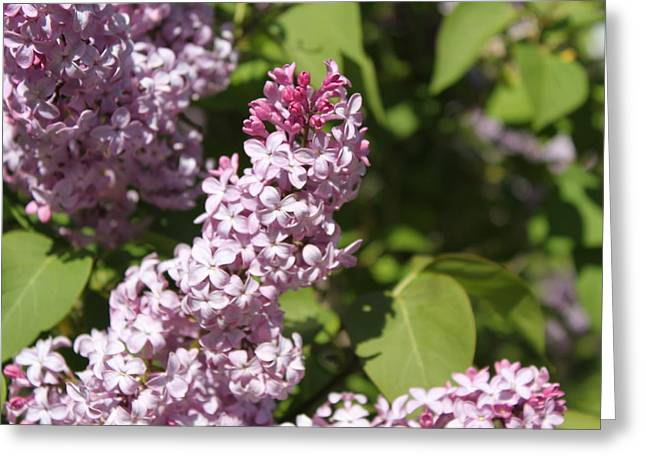 Lilacs 5552 Greeting Card