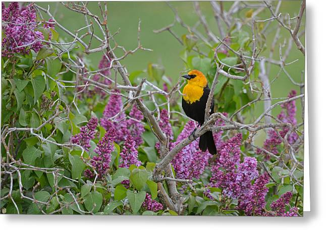 Lilacs And Yellowhead Blackbirds Greeting Card