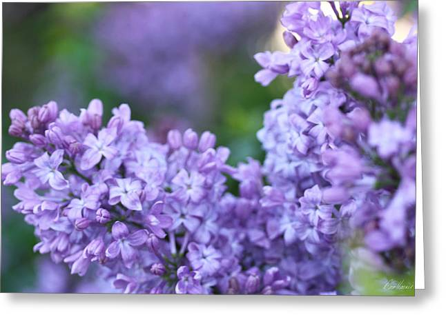 Lilacs Greeting Card by Diana Haronis