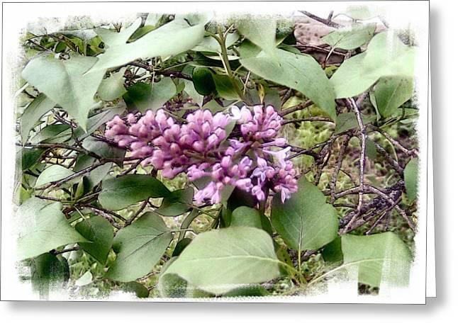 Lilacs  Eyes Closed Greeting Card