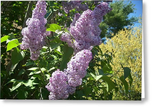 Lilacs  Greeting Card by Lisa Roy
