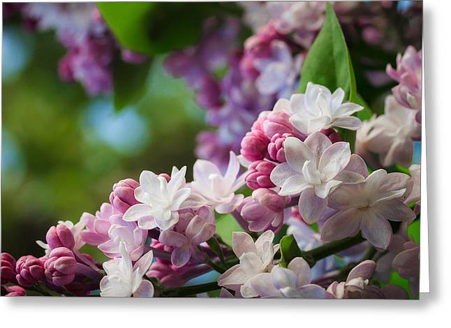 Lilacs Of Spring Greeting Card