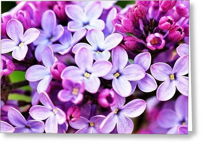 Lilacs Greeting Card by Penni D'Aulerio