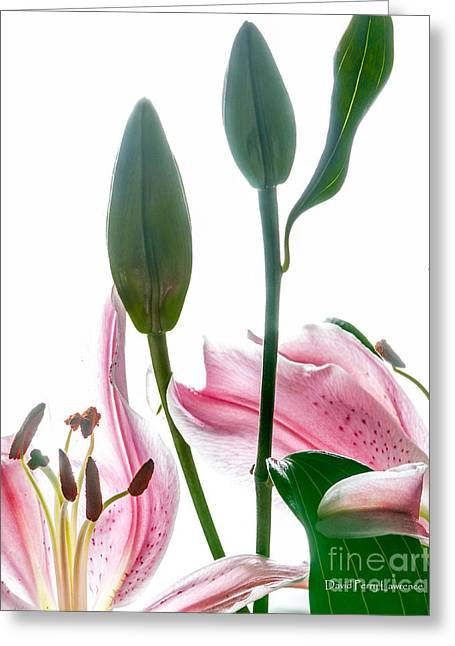 Greeting Card featuring the photograph Pink Oriental Starfire Lilies by David Perry Lawrence