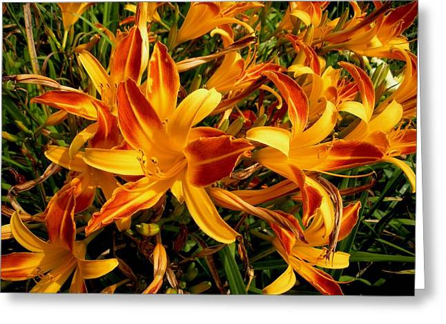 Lilies Galore Greeting Card by Jeanette Oberholtzer