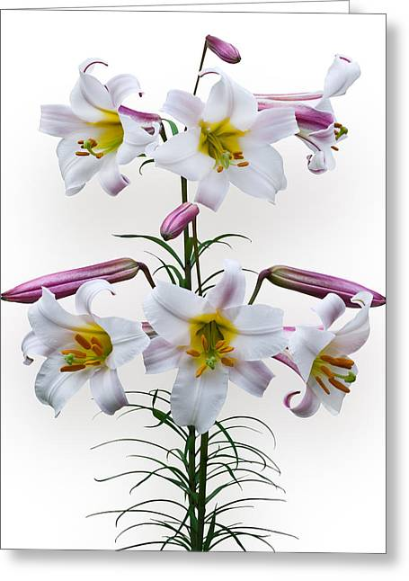 Lilium Regale Greeting Card by Jane McIlroy