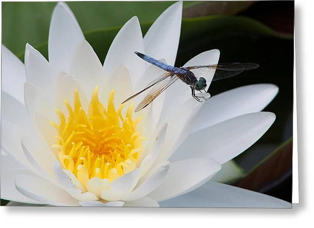 Lily And Dragonfly Greeting Card