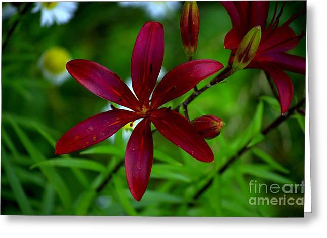 Lily Maroon Greeting Card by The Stone Age