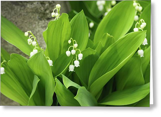 Greeting Card featuring the photograph Lily Of The Valley by Cristina Stefan