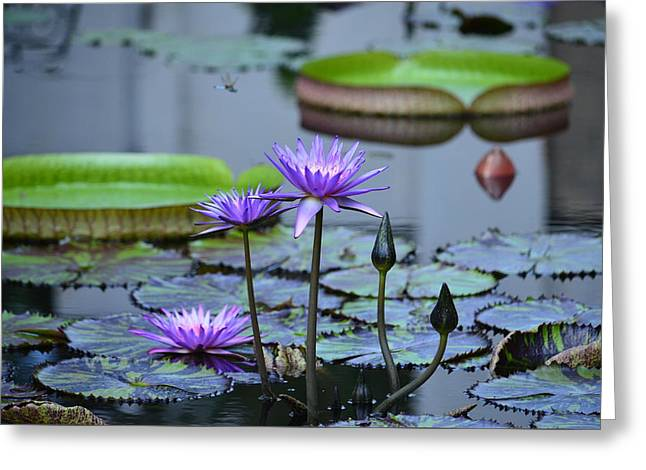 Lily Pond Wonders Greeting Card by Maria Urso