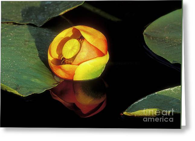 Lily Reflection Greeting Card by Sandra Bronstein