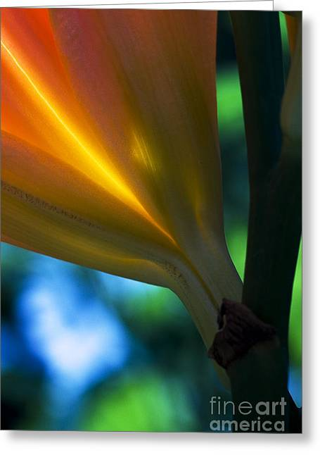 Lily Torchere Greeting Card by Shawn Young