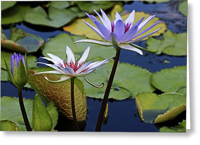 Greeting Card featuring the photograph Lily Trio by Judy Vincent