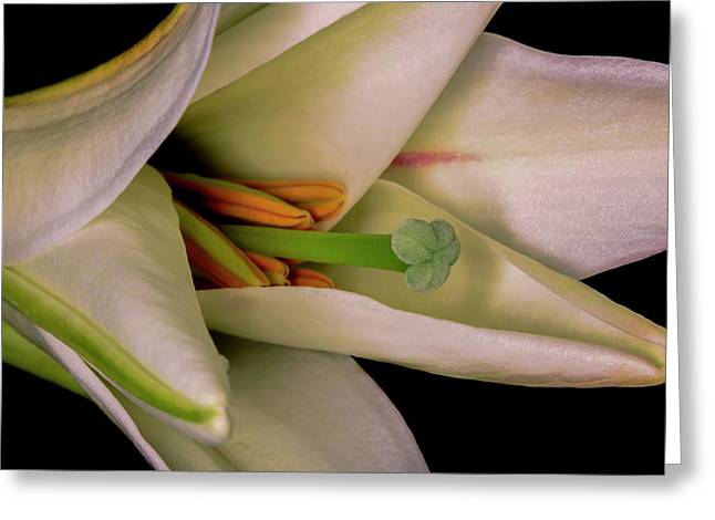 Lily White Greeting Card by Roy McPeak