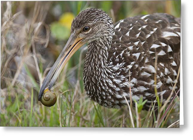 Limpkin, Aramus Guarauna Greeting Card
