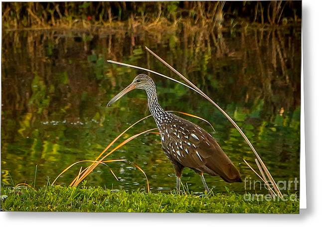 Limpkin At Water's Edge Greeting Card by Tom Claud