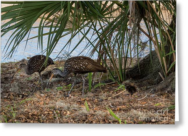Limpkin Family  Greeting Card