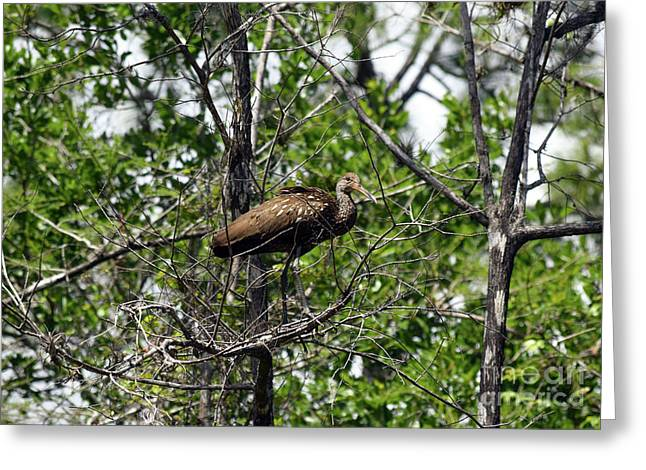 Limpkin In A Tree Greeting Card by William Tasker