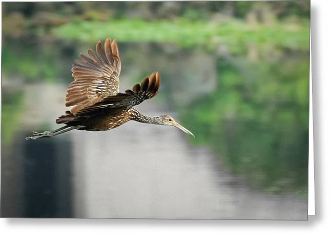 Limpkin In Flight Greeting Card by Dawn Currie